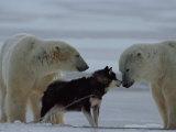 Deux ours polaires (ursus maritimus) et un husky se sentant mutuellement Photographie par Norbert Rosing