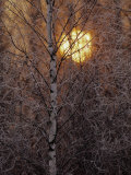Frost-Covered White Birch Trees with the Sun Rising Behind Photographie par Raymond Gehman