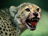 An African Cheetah Cub Shows Features of a Hunter Built for Speed Photographic Print by Chris Johns