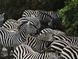 A Group of Zebras Photographic Print by Medford Taylor