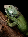 Green Iguana, Also Known as the Common Iguana Fotografisk tryk af George Grall