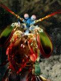 A Mantis Shrimp Fotografisk tryk af George Grall