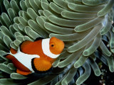A False Clown Anemonefish Swims Through Sea Anemone Tentacles Photographic Print by Wolcott Henry