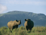 A Black Rhinoceros Cow and Her Calf Photographic Print by Chris Johns