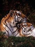 Siberian Tigers (Panthera Tigris Altaica) Photographic Print by Dr. Maurice G. Hornocker