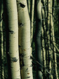 Close View of Several Aspen Tree Trunks Photographic Print by Joel Sartore