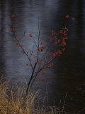 A Delicate Young Tree Blossoms by the Water Photographic Print by Mattias Klum