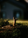 Black-Tailed Prairie Dog on Mound Near Louisville, Colorado Photographic Print by Raymond Gehman