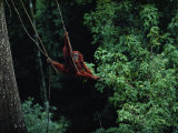 A Sub-Adult Male Orangutan Uses Vines to Swing from Tree to Tree Photographic Print by Michael Nichols