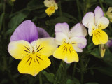 Close View of Pansy Blossoms Photographic Print by Darlyne A. Murawski