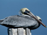 A Brown Pelican Resting on a Post Reproduction photographique par George Grall