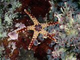 A Starfish Amid a Cluster of Tubeworms Photographic Print by Wolcott Henry