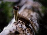 A Long-Tailed Weasel Sits up on a Tree Trunk Photographic Print by Michael S. Quinton
