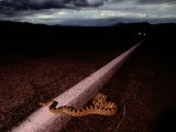 A Rattlesnake Crossing the Highway at Twilight Photographic Print by Chris Johns