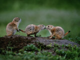 Prairie Dogs Touch Noses in a Possible Prelude to Kin Recognition Photographic Print by Raymond Gehman