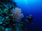 A Diver Swims Past Colorful Gorgonian Fan Coral Photographic Print by Tim Laman