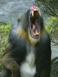 A Yawning Mandrill Photographic Print by Roy Toft