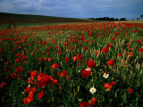 Field of Poppies Photographic Print by Sisse Brimberg