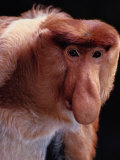 An Endangered Proboscis Monkey at the Bronx Zoo Photographic Print by Michael Nichols