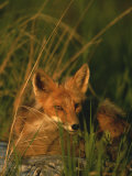 Close View of a Red Fox at Rest Photographic Print by Roy Toft
