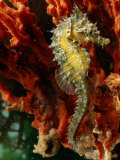 A Young Lined Sea Horse in a Clump of Red Seaweed on a Piling Photographic Print by George Grall
