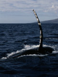 Humpback Whale off the Coast of Maui Photographic Print by Wolcott Henry
