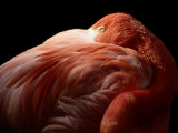 A Greater Flamingo Buries its Head in its Feathers Photographic Print by Tim Laman