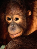 A Portrait of a Juvenile Orangutan Photographic Print by Tim Laman