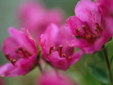 Close View of Kamchatka Rhododendron Blossoms on St. George Island Photographic Print by Joel Sartore