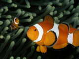 A Pair of False Clown Anemonefish Photographic Print by Wolcott Henry