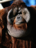 A Portrait of a Captive Orangutan Photographic Print by Tim Laman