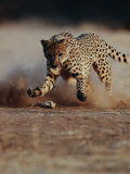 An African Cheetah Kicks up a Dust Cloud Photographic Print by Chris Johns