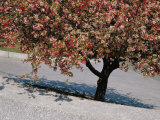 Blossoms on a Cherry Tree in Arlington Cemetery Photographic Print by Raymond Gehman