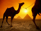 Dromedary Camels with the Pyramids of Giza in the Background Fotoprint van Richard Nowitz