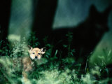 A Red Wolf Peers Through Foliage Photographic Print by Joel Sartore