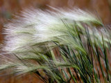 Prairie Grass Fotografisk tryk af Raymond Gehman