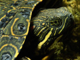 A Coahuilan Red-Eared Turtle Photographed at Laguna Del Hundido Photographic Print by George Grall