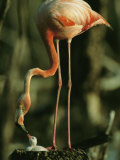 A Caribbean Flamingo Stands on its Nest and Feeds its Chick Photographic Print by Steve Winter
