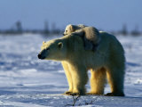 Polar Bear with Her Young Photographic Print by Norbert Rosing