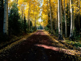 Dirt Road Leading Through a Grove of Aspen Trees Photographic Print by Joyce Dale