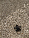 A Newly-Hatched Green Sea Turtle Makes its Way Towards the Waters Edge Photographic Print by Tim Laman