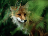 Fox with Porcupine Quills in its Nose Lmina fotogrfica por Medford Taylor