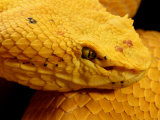 Close-up View of a Bright Yellow Snake Photographic Print by George Grall