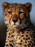 A Portrait of an African Cheetah Surrounded by Pesky Flies Photographie par Chris Johns
