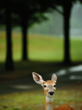 White-Tailed Deer Foraging on Grass Photographic Print by Raymond Gehman