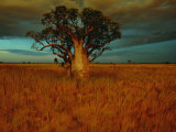 A Boab Tree Fotoprint van Sam Abell