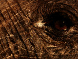 Eye of an African Elephant Photographic Print by Chris Johns