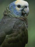 A Portrait of a St. Vincent Parrot (Amazon Guildindii) Stampa fotografica di Melford, Michael