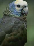 A Portrait of a St. Vincent Parrot (Amazon Guildindii) Photographic Print by Michael Melford