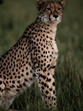 A Portrait of an African Cheetah Photographic Print by Chris Johns